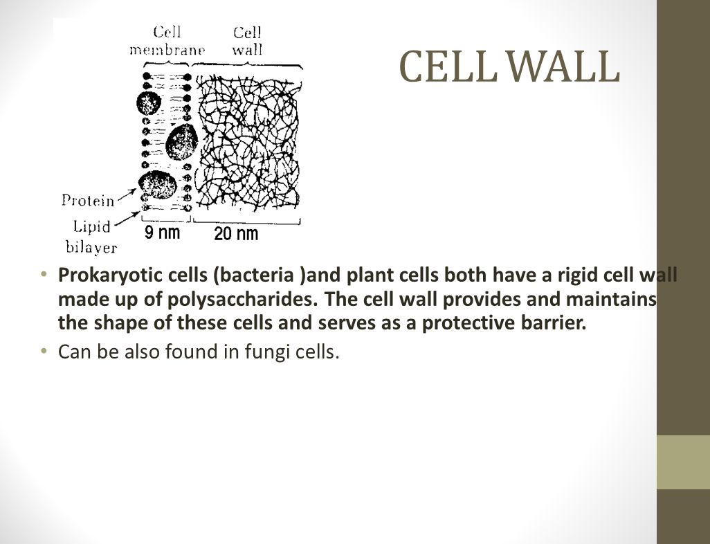 CELL WALL Prokaryotic cells (bacteria )and plant cells both have a rigid cell wall made up of polysaccharides. The cell wall provides and maintains th