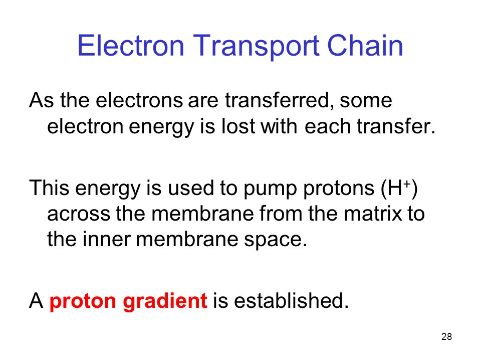 28 Electron Transport Chain As the electrons are transferred, some electron energy is lost with each transfer.