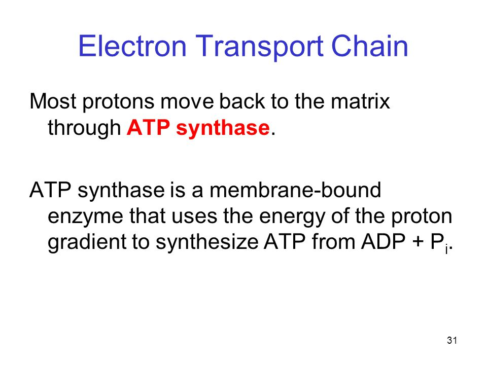 31 Electron Transport Chain Most protons move back to the matrix through ATP synthase. ATP synthase is a membrane-bound enzyme that uses the energy of
