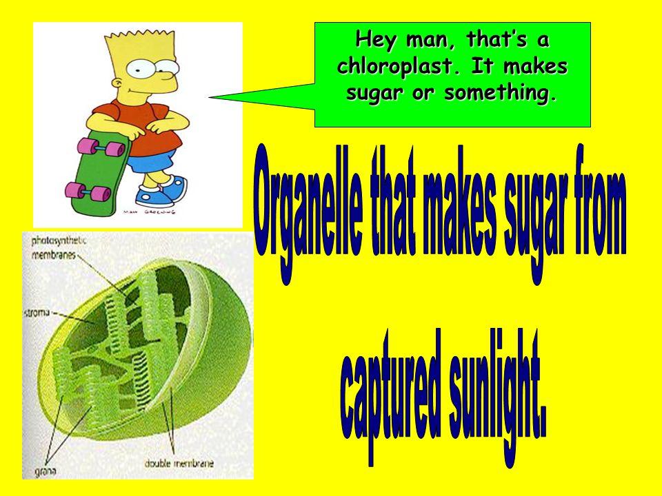 Hey man, that's a chloroplast. It makes sugar or something.