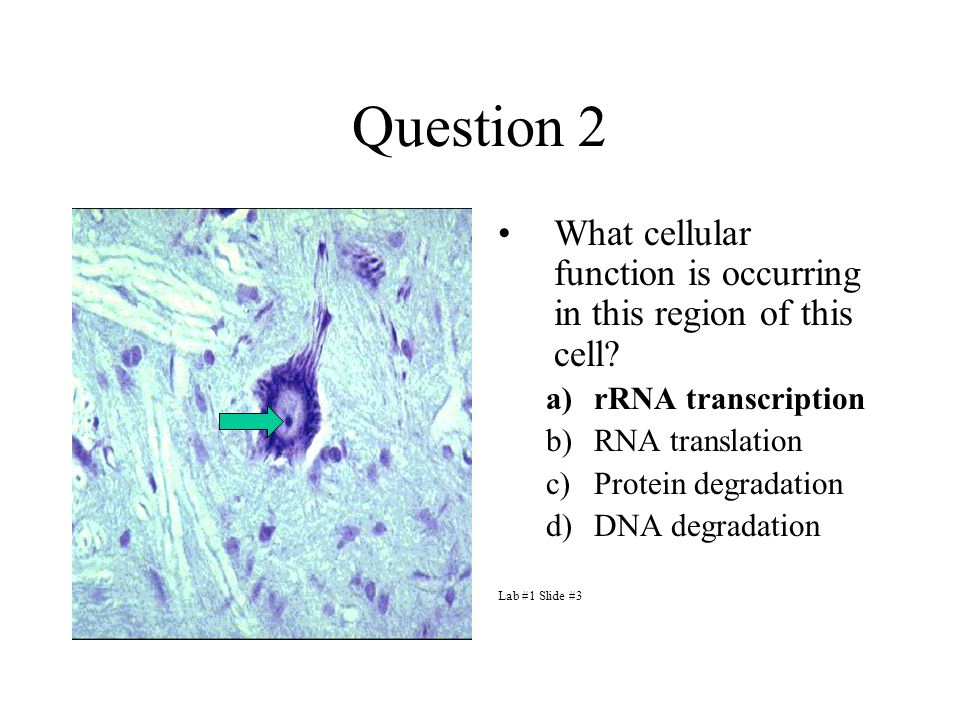 Question 2 What cellular function is occurring in this region of this cell.