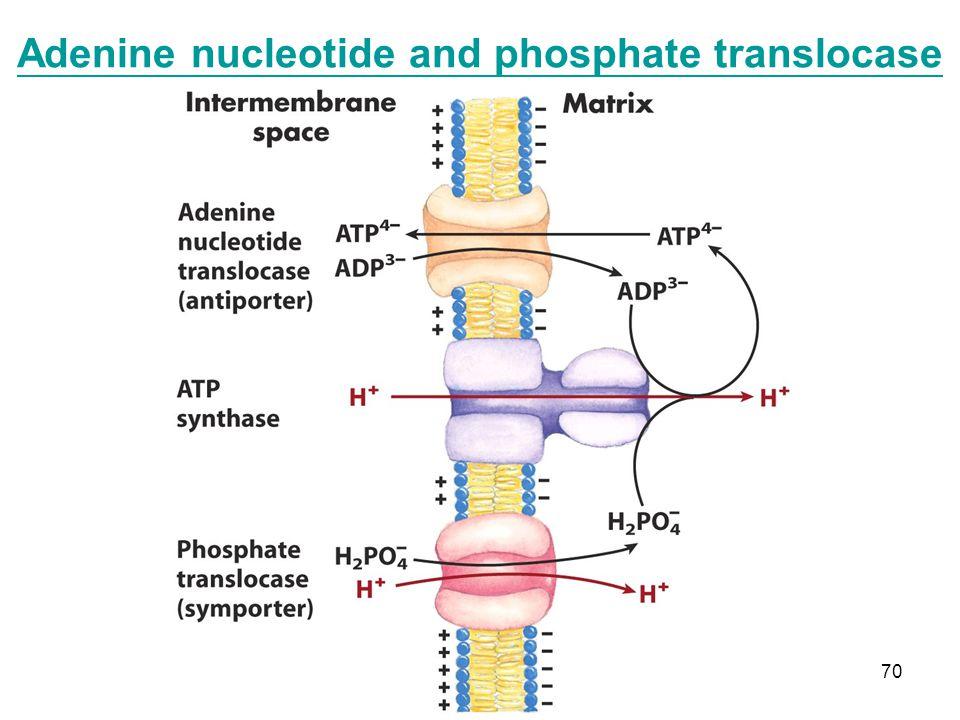 70 Adenine nucleotide and phosphate translocase