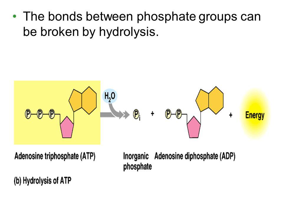 The bonds between phosphate groups can be broken by hydrolysis.