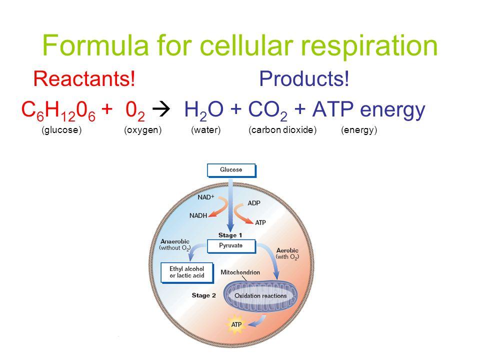 Formula for cellular respiration Reactants! Products! C 6 H 12 0 6 + 0 2  H 2 O + CO 2 + ATP energy (glucose) (oxygen) (water) (carbon dioxide) (ener