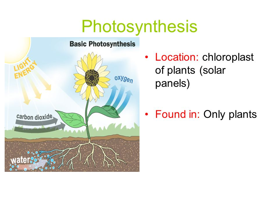 Photosynthesis Location: chloroplast of plants (solar panels) Found in: Only plants