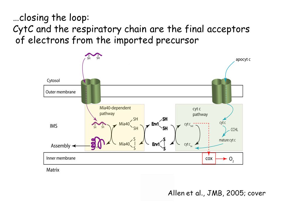 …closing the loop: CytC and the respiratory chain are the final acceptors of electrons from the imported precursor Allen et al., JMB, 2005; cover