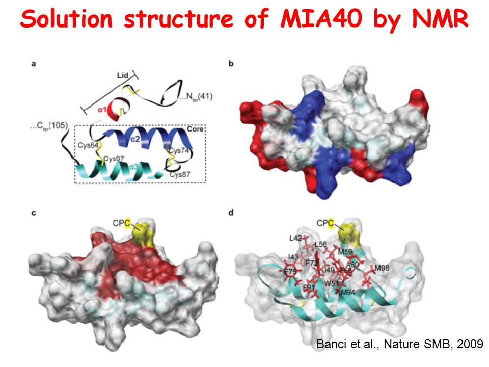 Solution structure of ΜΙΑ40 by NMR Banci et al., Nature SMB, 2009