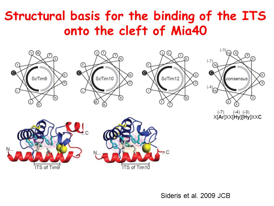 Structural basis for the binding of the ITS onto the cleft of Mia40 Sideris et al. 2009 JCB