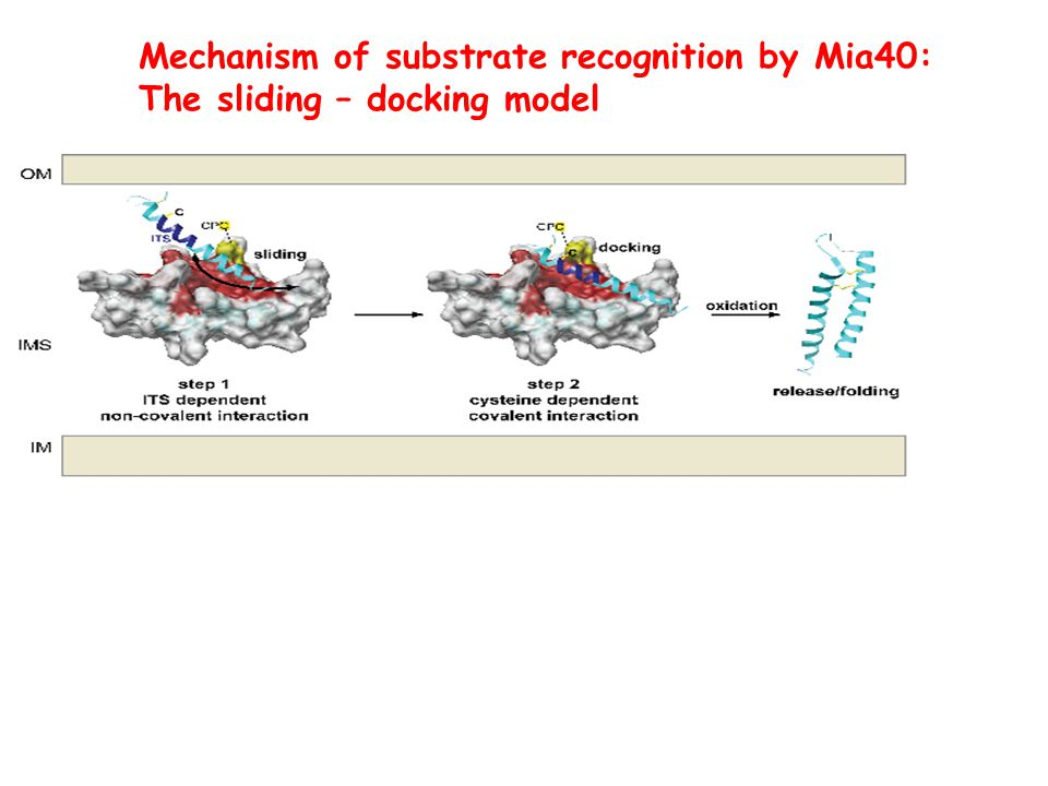 Mechanism of substrate recognition by Mia40: The sliding – docking model