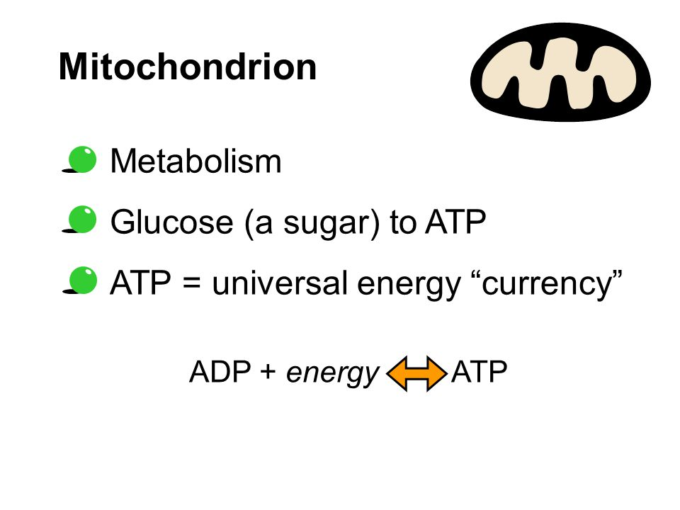 Mitochondrion Metabolism Glucose (a sugar) to ATP ATP = universal energy currency ADP + energy ATP