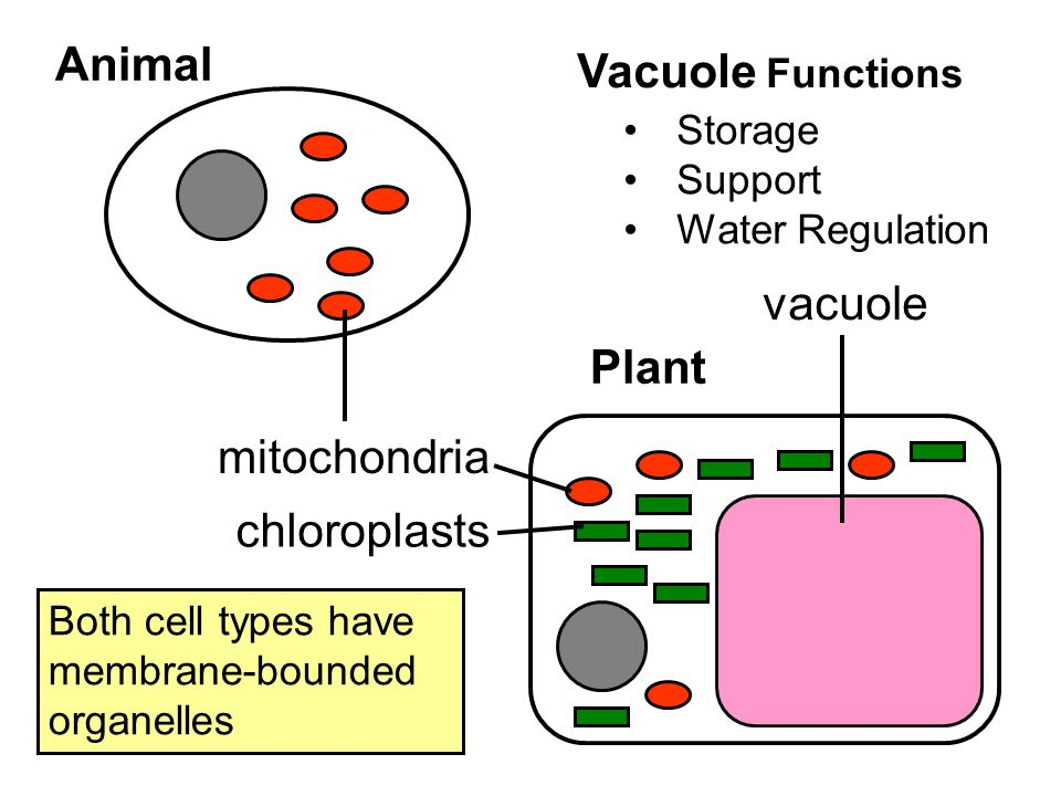 Animal Plant mitochondria chloroplasts vacuole Vacuole Functions Storage Support Water Regulation Both cell types have membrane-bounded organelles