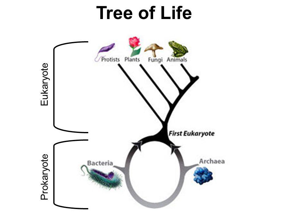 Tree of Life Eukaryote Prokaryote