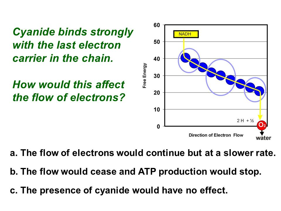 Cyanide binds strongly with the last electron carrier in the chain. How would this affect the flow of electrons? a.The flow of electrons would continu