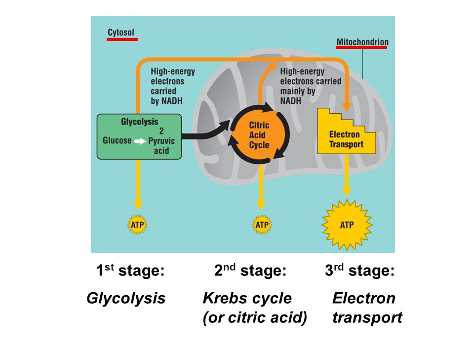 1 st stage: Glycolysis 2 nd stage: Krebs cycle (or citric acid) 3 rd stage: Electron transport