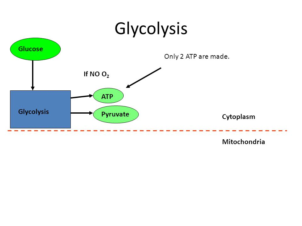 Glycolysis If NO O 2 Glucose Pyruvate Mitochondria ATP Cytoplasm Only 2 ATP are made.
