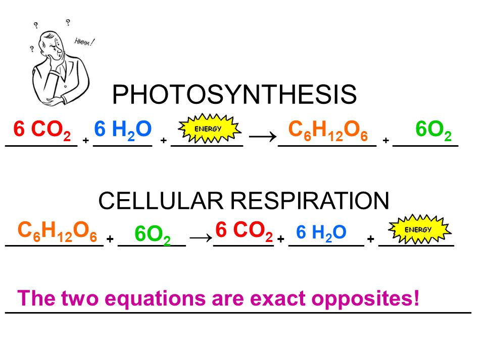 PHOTOSYNTHESIS ___________ + _________ + ___________ → _______________ + __________ 6 CO 2 6 H 2 OC 6 H 12 O 6 6O 2 _____________ + _________ → ________ + __________ + __________ ______________________________________________________________ CELLULAR RESPIRATION C 6 H 12 O 6 6O 2 6 CO 2 6 H 2 O The two equations are exact opposites!