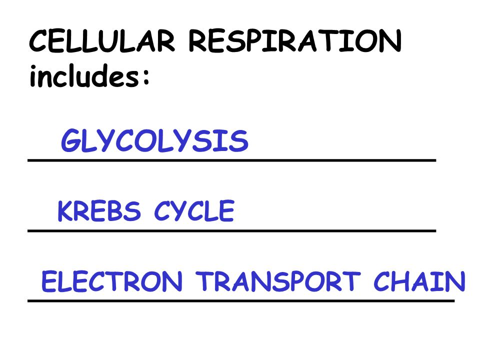 CELLULAR RESPIRATION includes: ______________________ _______________________ GLYCOLYSIS ELECTRON TRANSPORT CHAIN KREBS CYCLE