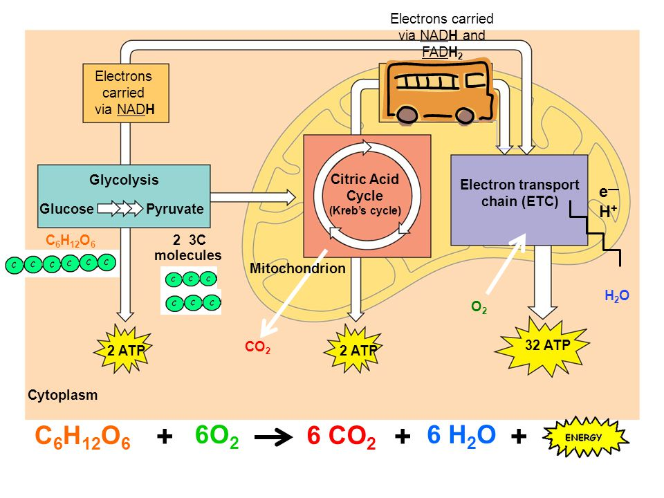 Cytoplasm Glucose Pyruvate Glycolysis Electrons carried via NADH 2 ATP 32 ATP Electron transport chain (ETC) Citric Acid Cycle (Kreb's cycle) Electrons carried via NADH and FADH 2 CO 2 Mitochondrion 2 3C molecules 2 ATP C 6 H 12 O 6 e—H+e—H+ O2O2 H2OH2O 6O 2 6 CO 2 6 H 2 O +++