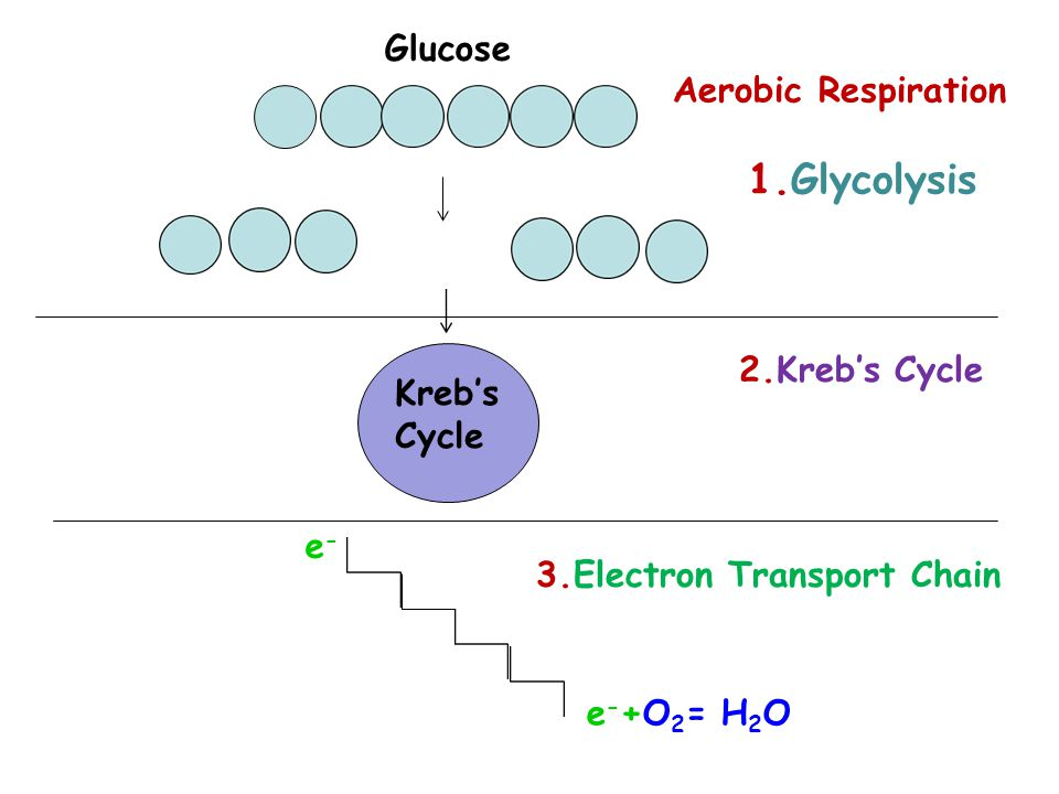Kreb's Cycle 1.Glycolysis 2.Kreb's Cycle 3.Electron Transport Chain Glucose e-e- e - +O 2 = H 2 O Aerobic Respiration