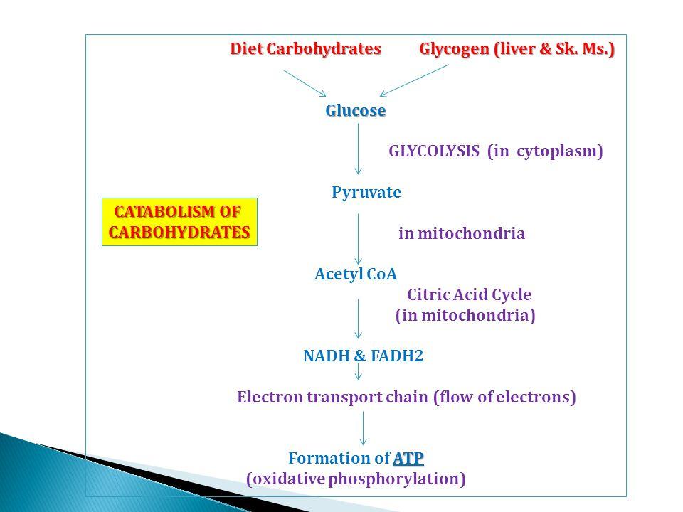 Diet Carbohydrates Glycogen (liver & Sk. Ms.) Diet Carbohydrates Glycogen (liver & Sk.