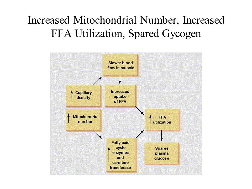 Increased Mitochondrial Number, Increased FFA Utilization, Spared Gycogen
