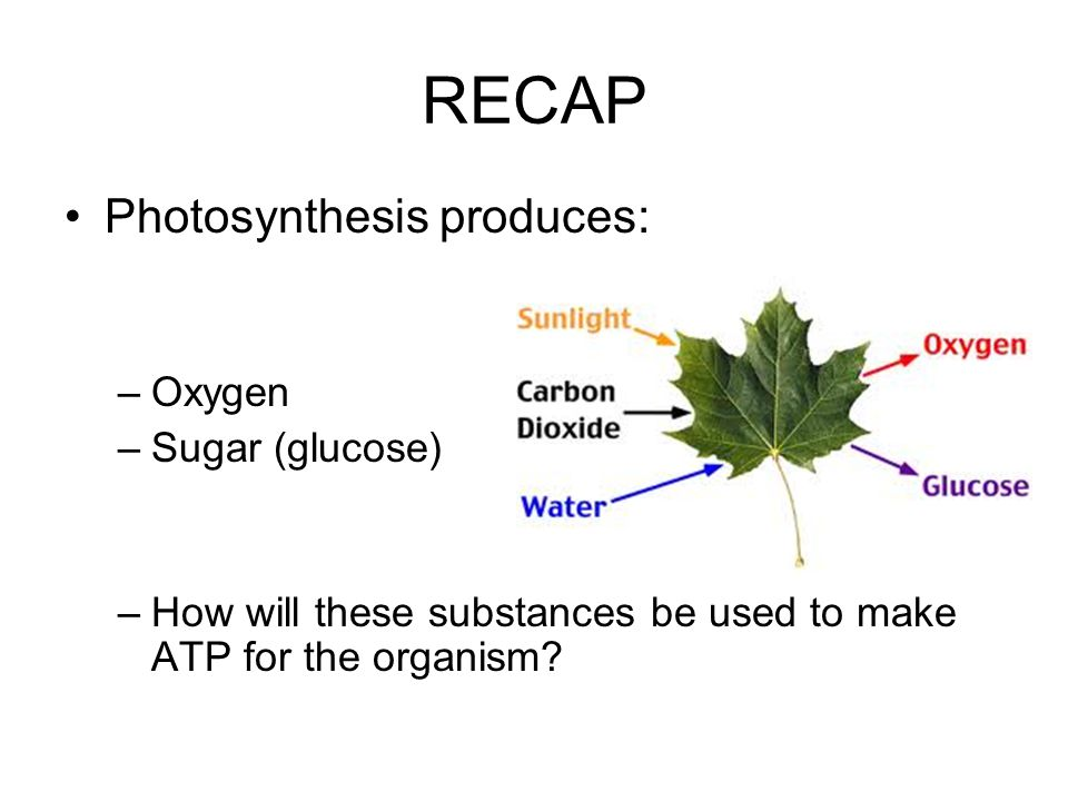 RECAP Photosynthesis produces: –Oxygen –Sugar (glucose) –How will these substances be used to make ATP for the organism?