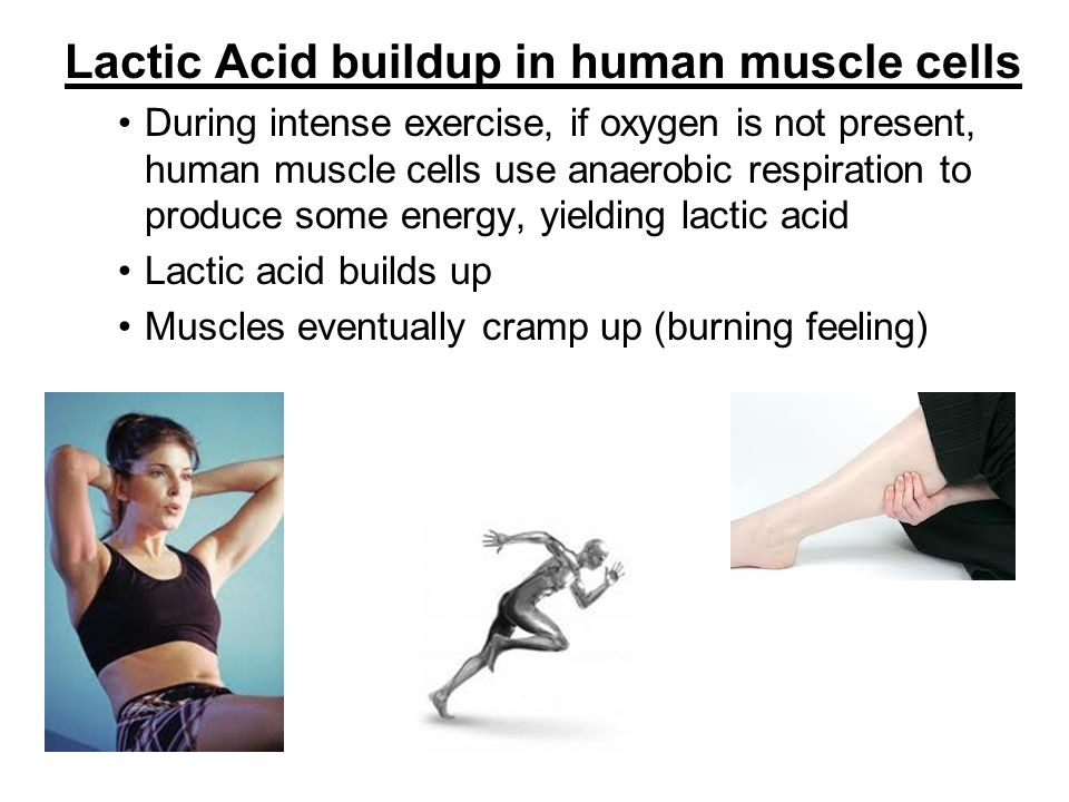 Lactic Acid buildup in human muscle cells During intense exercise, if oxygen is not present, human muscle cells use anaerobic respiration to produce s