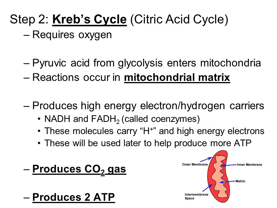 Step 2: Kreb's Cycle (Citric Acid Cycle) –Requires oxygen –Pyruvic acid from glycolysis enters mitochondria –Reactions occur in mitochondrial matrix –