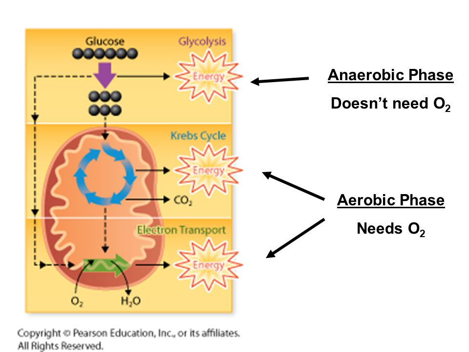 Anaerobic Phase Doesn't need O 2 Aerobic Phase Needs O 2
