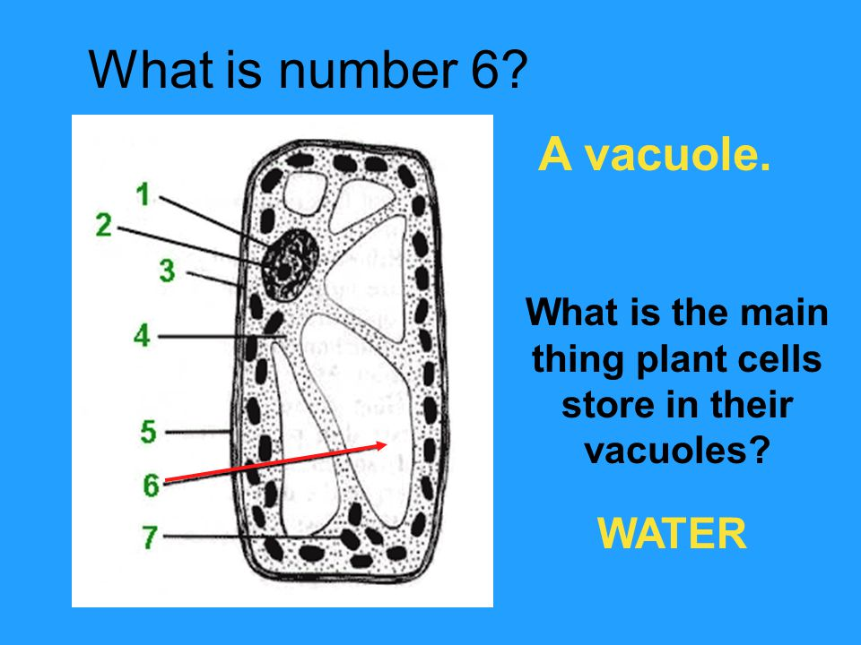 What is number 6? A vacuole. What is the main thing plant cells store in their vacuoles? WATER