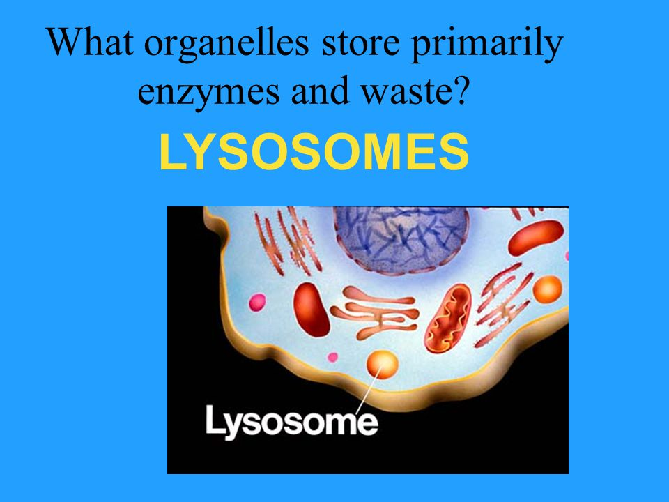 What organelles store primarily enzymes and waste? LYSOSOMES