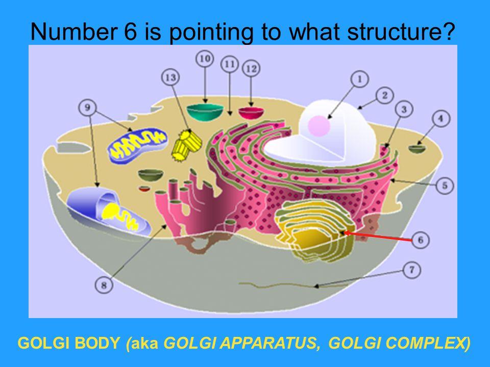 Number 6 is pointing to what structure? GOLGI BODY (aka GOLGI APPARATUS, GOLGI COMPLEX)