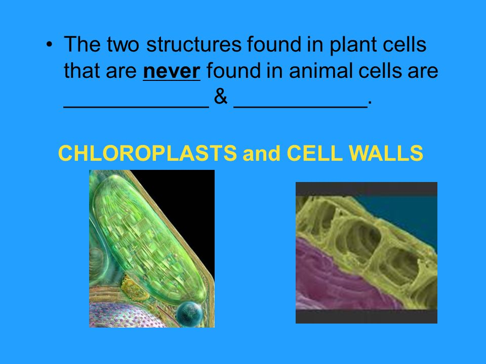 The two structures found in plant cells that are never found in animal cells are ____________ & ___________. CHLOROPLASTS and CELL WALLS