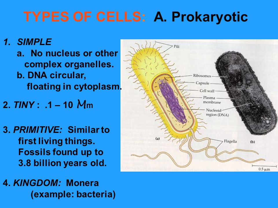 TYPES OF CELLS: A. Prokaryotic 1.SIMPLE a.No nucleus or other complex organelles. b. DNA circular, floating in cytoplasm. 2. TINY :.1 – 10 M m 3. PRIM