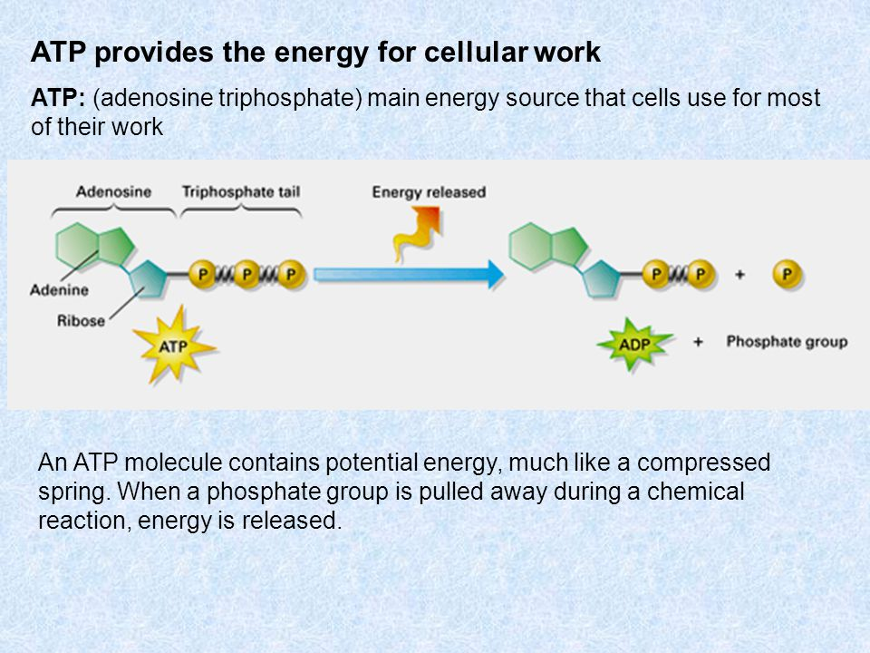 The ATP Cycle ATP is constantly recycled in your cells.