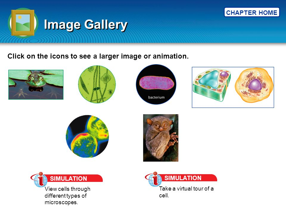 CHAPTER HOME Image Gallery Click on the icons to see a larger image or animation. SIMULATION View cells through different types of microscopes. SIMULA