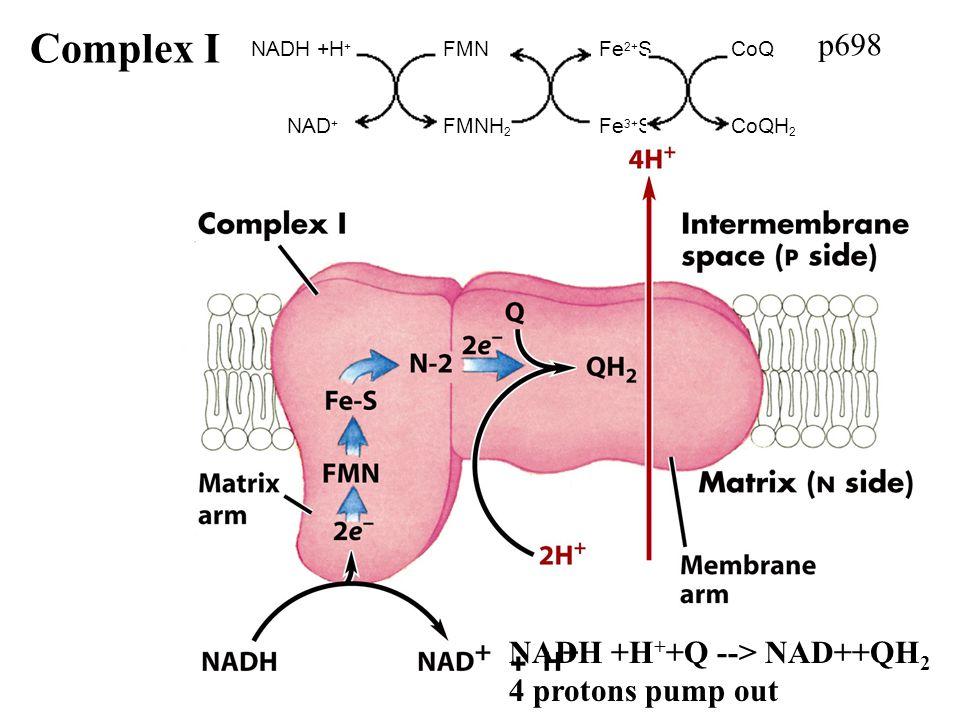 p698 Complex I NADH +H + +Q --> NAD++QH 2 4 protons pump out NADH +H + FMN Fe 2+ SCoQ NAD + FMNH 2 Fe 3+ SCoQH 2