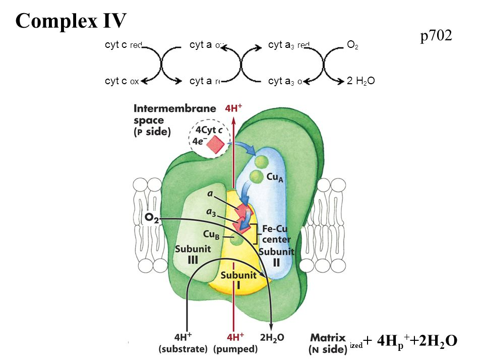 p702 Complex IV 4Cytc reduced +8H N + +O 2 --> 4Cytc oxidized + 4H p + +2H 2 O cyt c red cyt a ox cyt a 3 red O 2 cyt c ox cyt a red cyt a 3 ox 2 H 2 O