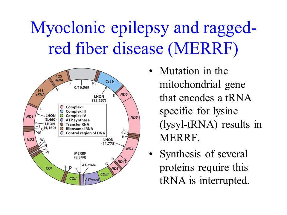 Myoclonic epilepsy and ragged- red fiber disease (MERRF) Mutation in the mitochondrial gene that encodes a tRNA specific for lysine (lysyl-tRNA) results in MERRF.