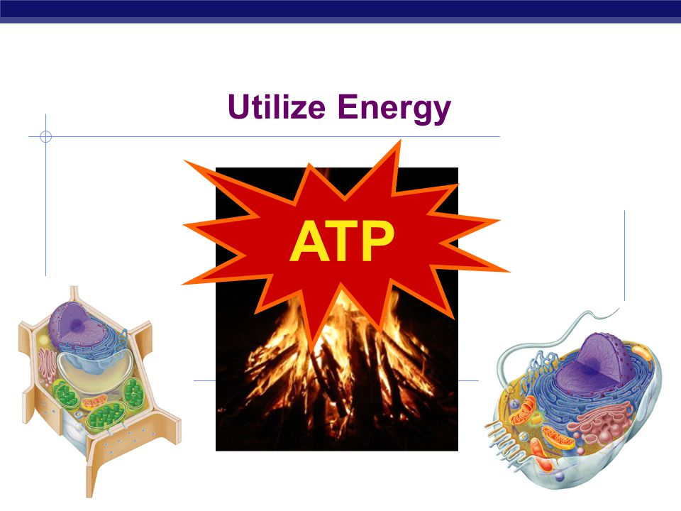 AP Biology Cells gotta work to live!  What jobs do cells have to do?  Build proteins  proteins control every cell function  Utilize energy  for d