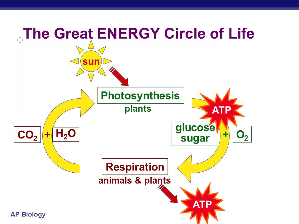 AP Biology glucose + oxygen  carbon + water + energy dioxide C 6 H 12 O 6 6O 2 6CO 2 6H 2 OATP  +++ + water + energy  glucose + oxygen carbon dioxide 6CO 2 6H 2 O C 6 H 12 O 6 6O 2 light energy  +++ Compare the equations Photosynthesis Respiration