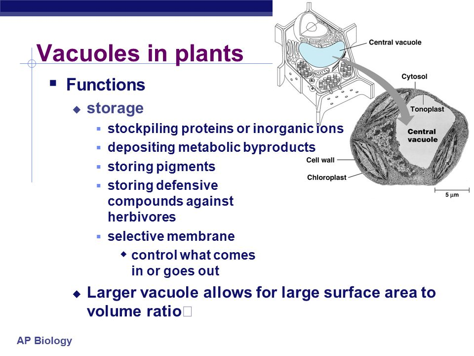 AP Biology Vacuoles & vesicles  Function  Vesicles - moving materials around cell, little transfer ships  Vacuoles - storage  Food vacuoles  phagocytosis, fuse with lysosomes  Contractile vacuoles  in freshwater protists, pump excess H 2 O out of cell  Central vacuoles  in many mature plant cells  Structure  membrane sac