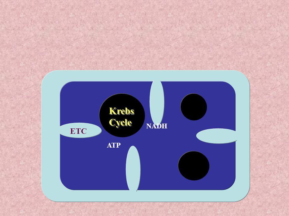 KK ATP NADH ETC Krebs Cycle Krebs Cycle KK