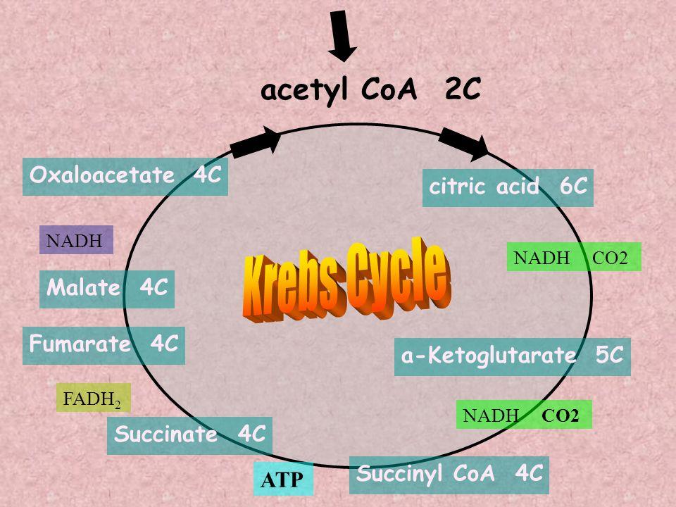 NADH CO2 citric acid 6C a-Ketoglutarate 5C Succinyl CoA 4C NADH CO2 Fumarate 4C Malate 4C ATP FADH 2 NADH acetyl CoA 2C Succinate 4C Oxaloacetate 4C
