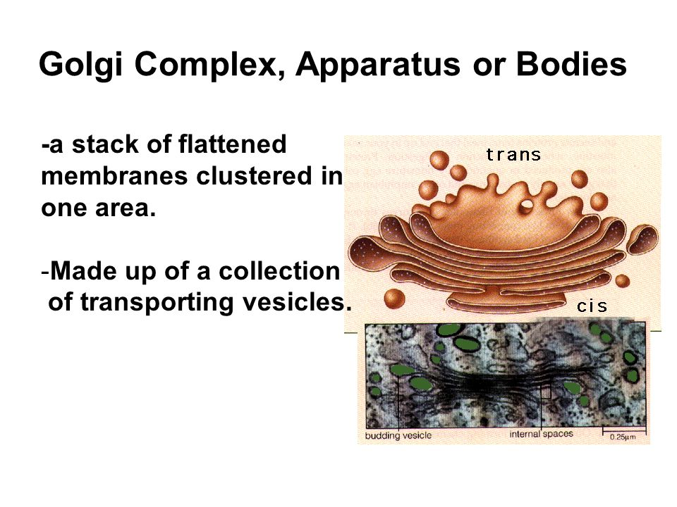 Golgi Complex, Apparatus or Bodies -a stack of flattened membranes clustered in one area. -Made up of a collection of transporting vesicles.
