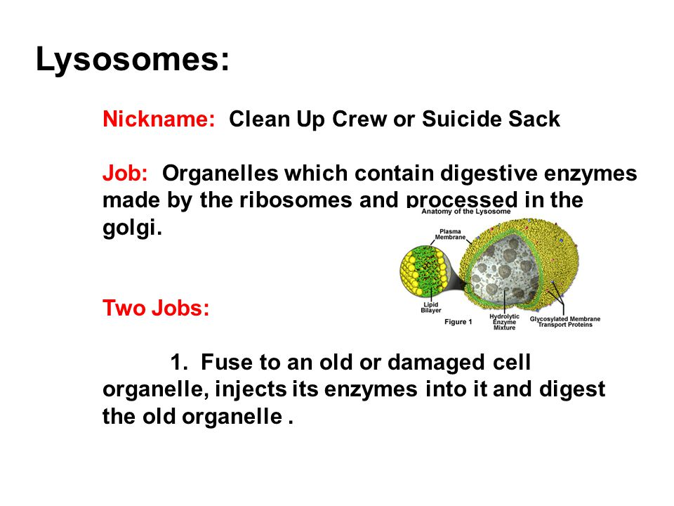 Lysosomes: Nickname: Clean Up Crew or Suicide Sack Job: Organelles which contain digestive enzymes made by the ribosomes and processed in the golgi. T