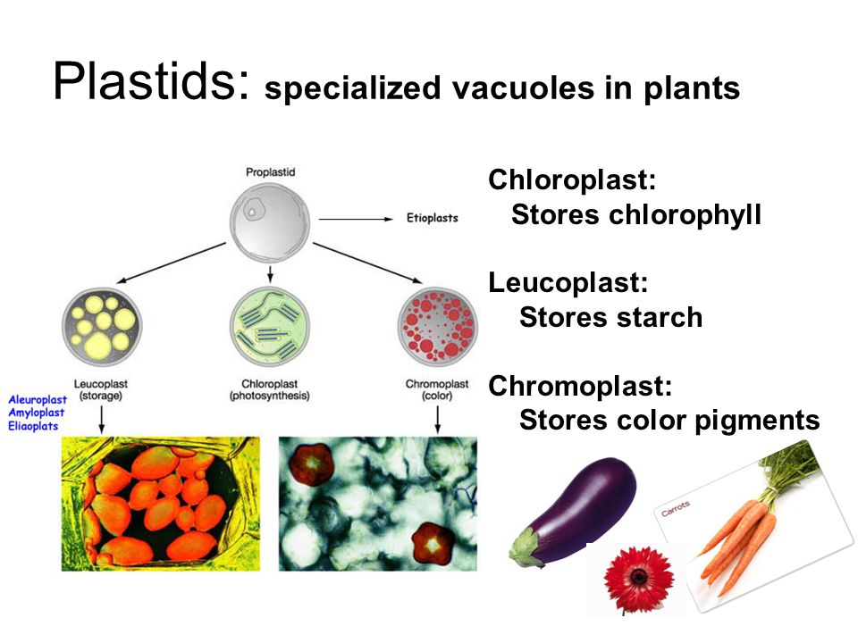 Plastids: specialized vacuoles in plants Chloroplast: Stores chlorophyll Leucoplast: Stores starch Chromoplast: Stores color pigments