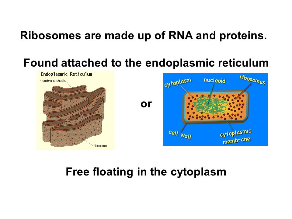Ribosomes are made up of RNA and proteins. Found attached to the endoplasmic reticulum or Free floating in the cytoplasm