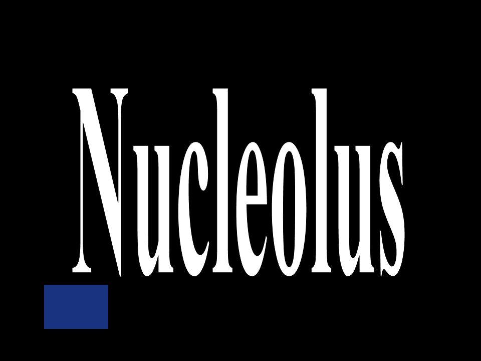 Nuclear membrane Ribosomes Nucleus Mitochondria Nucleolus