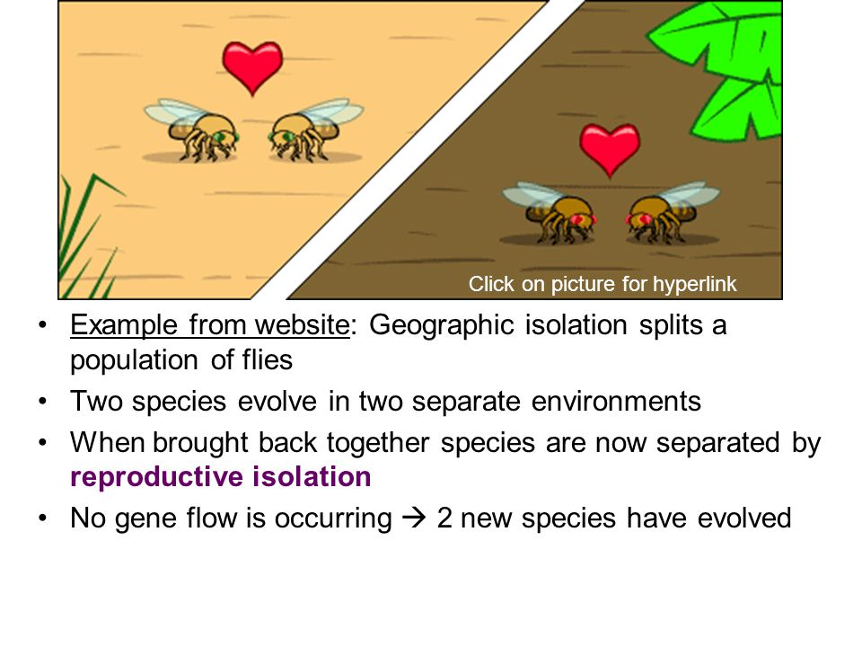 Example from website: Geographic isolation splits a population of flies Two species evolve in two separate environments When brought back together species are now separated by reproductive isolation No gene flow is occurring  2 new species have evolved Click on picture for hyperlink